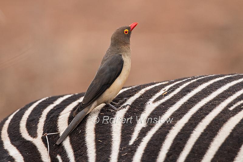Red-billed Oxpecker, Buphagus erythrorhynchus, Samburu National Reserve, Kenya, Africa