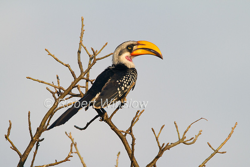 Male, Eastern Yellow-billed Hornbill, Tockus flavirostris, Tsavo West National Park, Kenya, Africa