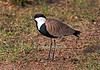 Spur-winged Lapwing or Spur-winged Plover, Vanellus spinosus, Masai Mara National Reserve, Kenya, Africa, Charadriiformes Order, Charadriidae Family