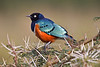 Superb Starling, Lamprotornis superbus, on acacia tree, Lake Nakuru National Park, Rift Valley Province, Kenya, Africa
