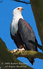 Eagle, African Fish Eagle, Haliaeetus vocifer, Lake Nakuru National Park, Kenya, Africa, Falconiformes Order; Accipitridae Family