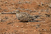 Chestnut-bellied Sandgrouse, Pterocles exustus, female, Samburu National Reserve, Kenya, Africa