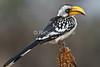 Eastern Yellow-billed Hornbill, Tockus flavirostris, Samburu National Reserve, Kenya, Africa
