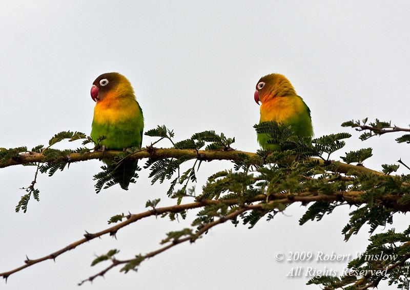 Yellow-collared Lovebirds, Agapornis personatus, Rift Valley, Kenya, Africa, Psittaciformes Order,  Psittacidae Family