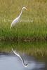 Intermediate Egret, median egret, or yellow-billed egret, Mesophoyx intermedia, Lake Nakuru National Park, Kenya, Africa