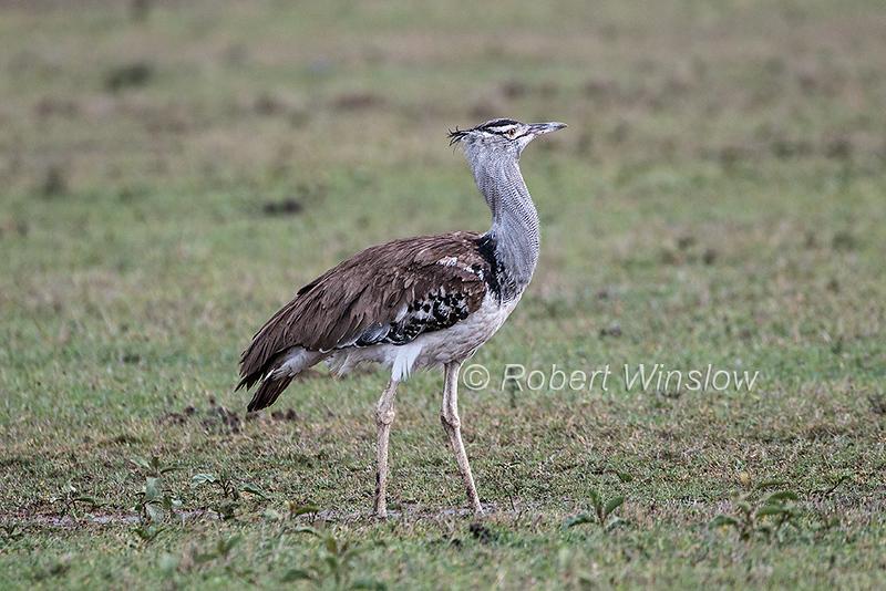 Kori Bustard, Ardeotis kori, Ol Pejeta Conservancy, Kenya, Africa