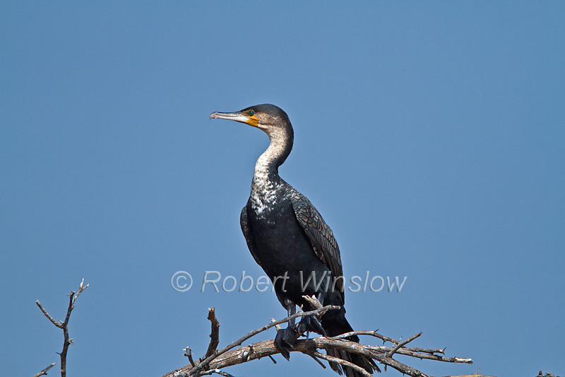 Great Cormorant, Phalacrocorax carbo, Lake Baringo, Kenya, Africa
