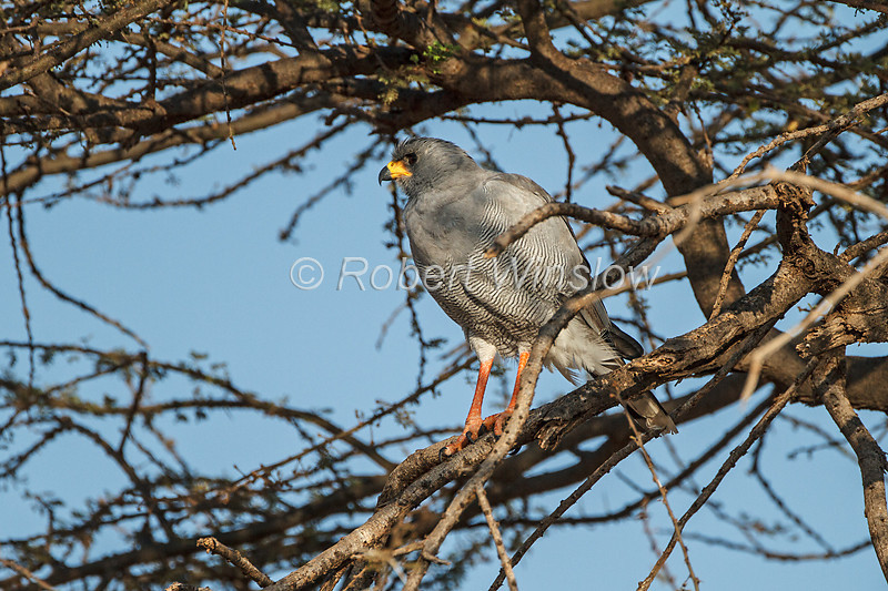Eastern Chanting-Goshawk, Melierax poliopterus, Samburu National Reserve, Kenya, Africa