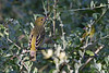 Little Weaver, Ploceus luteolus, Lake Baringo, Kenya, Africa