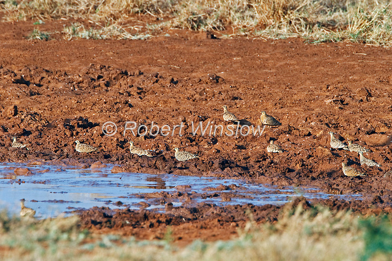 Black-faced Sandgrouse, Pterocles exustus, water, Tsavo East National Park, Kenya, Africa