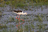 Black-winged Stilt, Himantopus himantopus, Amboseli National Park, Kenya, Africa