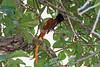 African Paradise Flycatcher, Terpsiphone viridis, Masai Mara National Reserve, Kenya, Africa