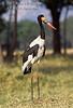 Stork, Saddle billed Stork, Male, Ephippiorhynchus senegalensis, Masai Mara National Reserve, Kenya, Africa, Ciconiiformes Order, Ciconiidae Family