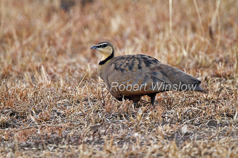 Yellow-throated Sandgrouse, Pterocles gutturalis, Masai Mara National Reserve, Kenya, Africa