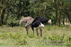 Ostrich, Male and Female Ostrich with Heads Down, Looks like they are Hiding their heads in the Ground.  They could be building a Nest. Male Looks like a Somali Ostrich, Struthio camelus molybdophanes, Struthioniformes Order, Struthionidae Family