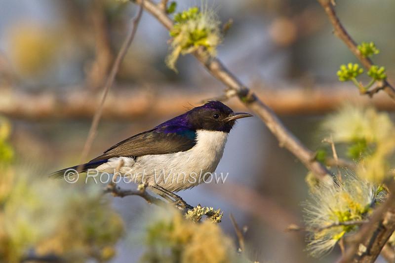 Eastern Violet-backed Sunbird, Anthreptes orientalis, Tsavo West National Park, Kenya, Africa