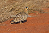 Black-faced Sandgrouse, Pterocles exustus, male, Tsavo East National Park, Kenya, Africa