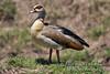Goose, Egyptian Goose, Alopochen aegyptiacus, Masai Mara National Reserve, Kenya, Africa, Anseriformes Order, Anatidae Family