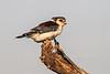 Pygmy Falcon, or African Pygmy Falcon, Polihierax semitorquatus, Samburu National Reserve, Kenya, Africa