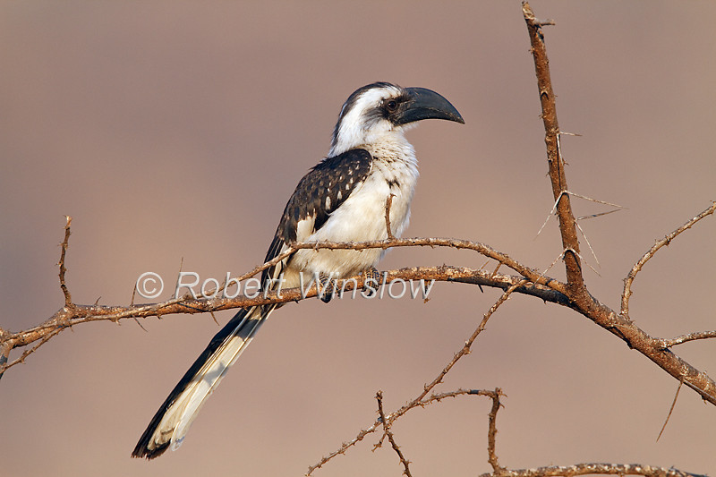 African Grey Hornbill, Tokus nasutus, Tsavo West National Park, Kenya, Africa