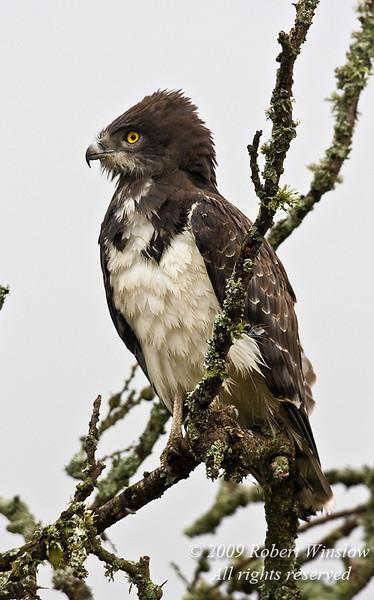 Black-chested Snake-eagle, Circaetus pectoralis, Rift Valley, Kenya, Africa