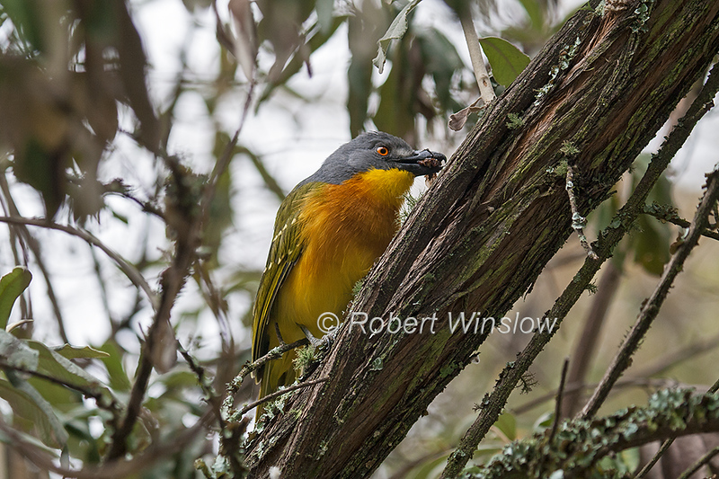 Grey-headed Bush-shrike, Malaconotus blanchoti, Rift Valley, Kenya, Africa