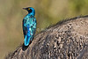 Greater Blue-eared Glossy Starling, Lamprotornis chalybaeus, Lake Nakuru National Park, Kenya, Africa