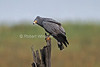 African Harrier-Hawk, Harrier Hawk, or Gymnogene, Polyboroides typus, Lake Nakuru National Park, Kenya, Africa