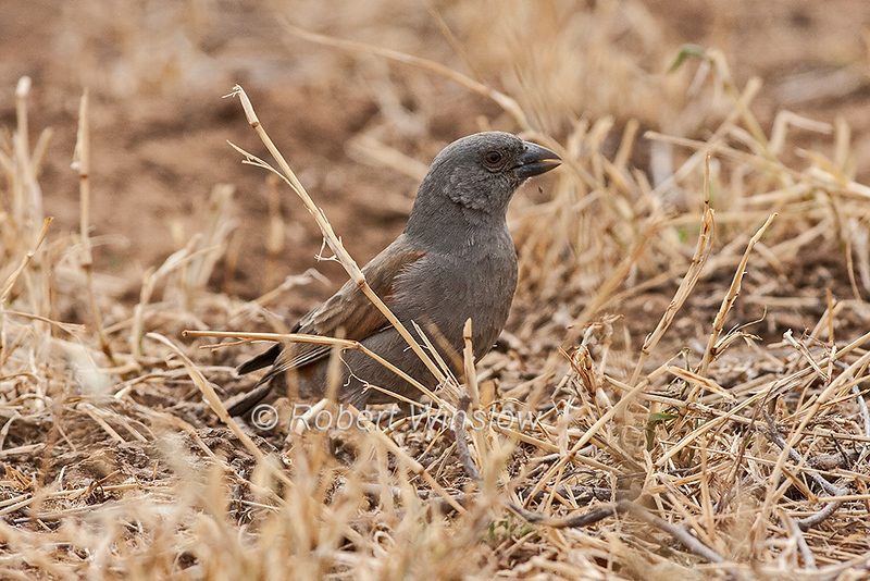 Gray-headed Sparrow or Northern Grey-headed Sparrow,  Passer griseus, also known as the Grey-headed or Common Grey-headed Sparrow, Samburu National Reserve, Kenya, Africa