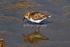 Little Stint, Calidris minuta, Amboseli National Park, Kenya, Africa