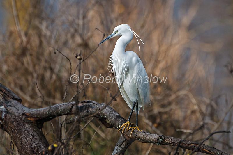 Little Egret, Egretta garzetta, Lake Nakuru National Park, Kenya, Africa
