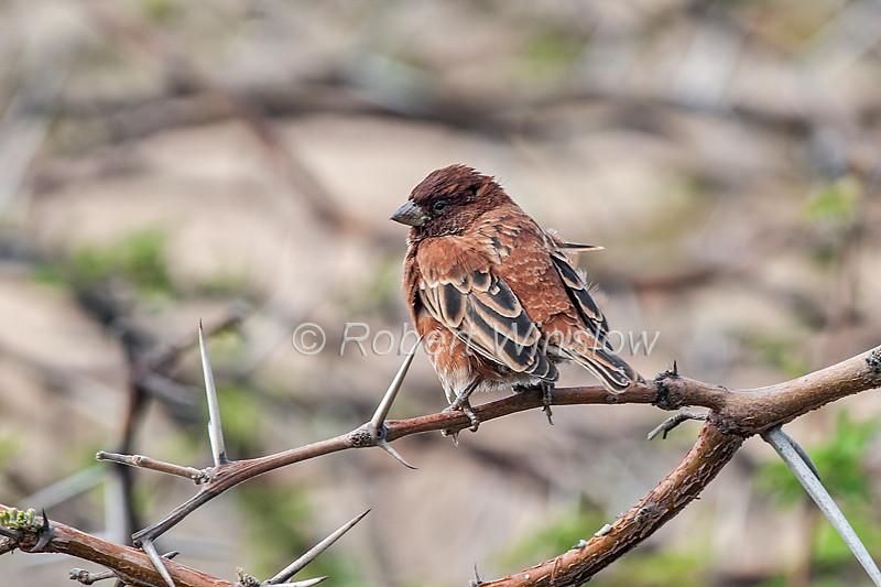 Chestnut Sparrow, Passer eminibey, Lewa Wildlife Conservancy, Kenya, Africa