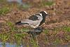 Blacksmith Lapwing or Blacksmith Plover, Vanellus armatus, Ol Pejeta Conserancy, Kenya, Africa, Charadriiformes Order, Charadriidae Family