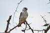 Pygmy Falcon, Polihierax semitorquatus, Tsavo East National Park, Kenya, Africa