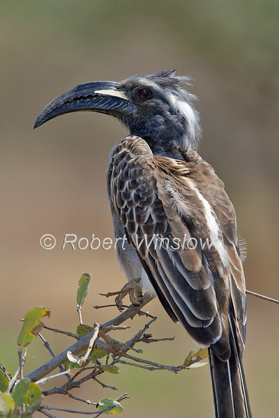African Grey Hornbill Tockus Nasutus Tsavo West National Park Kenya Africa