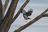 African Harrier-Hawk, Harrier Hawk, or Gymnogene, Polyboroides typus, Lake Nakuru National Park, Kenya, Africa