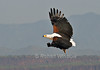 African Fish Eagle, Haliaeetus vocifer, with a fish in its talons, Lake Baringo, Kenya, Africa