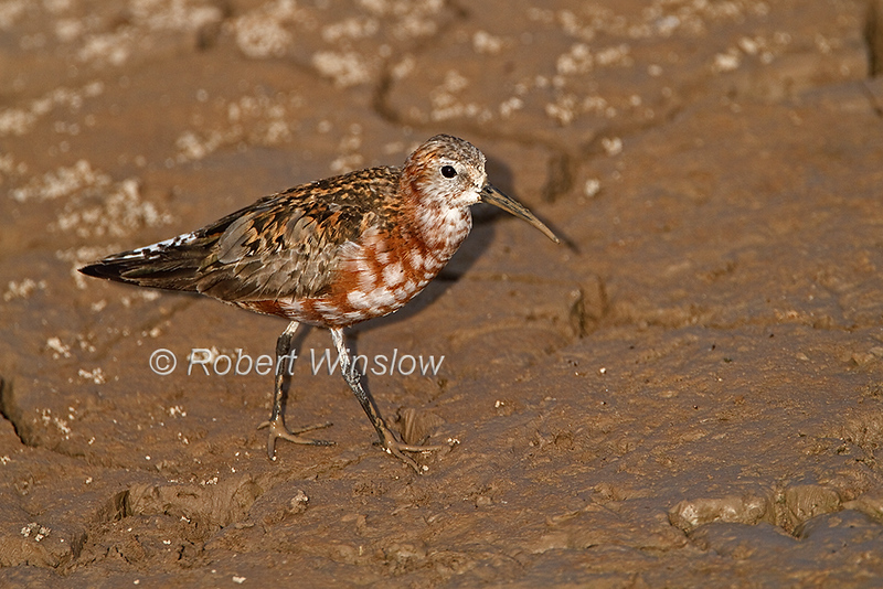 Curlew Sandpiper, Calidris ferruginea, intermediate plumage, Amboseli National Park, Kenya, Africa