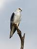 Kite, Black-shouldered Kite, Black-winged Kite, Elanus caeruleus, Masai Mara National Reserve, Kenya, Africa, Falconiformes Order, Accipitridae Family