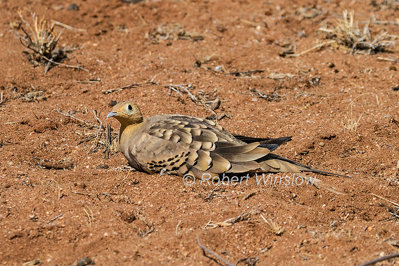 Chestnut-bellied Sandgrouse, male,  Pterocles exustus, Samburu National Reserve, Kenya, Africa