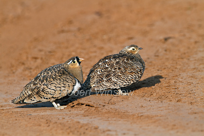 Male and Female, Black-faced Sandgrouse, Pterocles exustus, Samburu National Reserve, Kenya, Africa