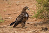 Steppe Eagle, Aquila nipalensis, Endangered Species, Samburu National Reserve, Kenya, Africa