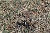 Grassland Pipet, African Pipet, Anthus cinnamomeus, Ol Pejeta Wildlife Conservancy, Kenya, Africa