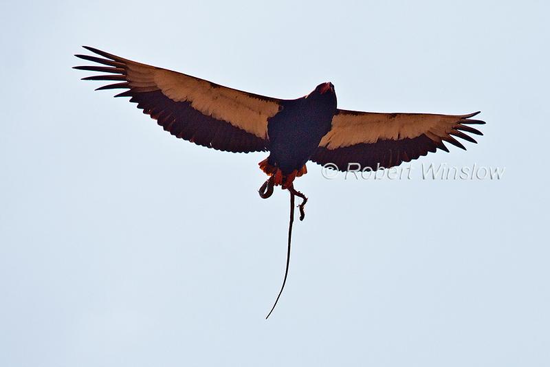 Bateleur, Terathopius ecaudatus, Eagle, Flying, Snake in its talons, Tsavo West National Park, Kenya, Africa