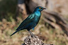 Greater Blue-eared Starling or Greater Blue-eared Glossy-starling, Lamprotornis chalybaeus, Ol Pejeta Conservancy, Kenya, Africa