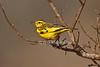 Golden Pipit, Tmetothylacus tenellus, Tsavo East National Park, Kenya, Africa