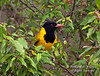African Black-headed Oriole, Oriolus larvatus, Masai Mara National Reserve, Kenya, Africa, Passeriformes Order, Oriolidae Family