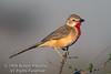 Bush-shrike, Rosy-Patched Bush-shrike, Rhodophoneus cruentus hilgerti, Samburu National Reserve, Kenya, Africa, Passeriformes Order, Malaconotidae Family