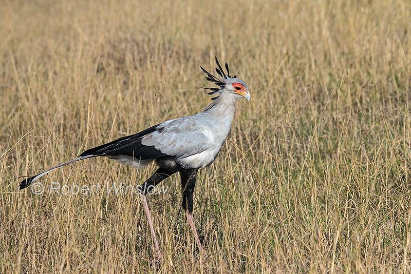 Secretarybird or Secretary Bird,Sagittarius serpentarius, Masai Mara National Reserve, Kenya, Africa, Vulnerable Species
