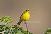 Yellow-fronted Canary, Serinus mozambicus, Masai Mara National Reserve, Kenya, Africa